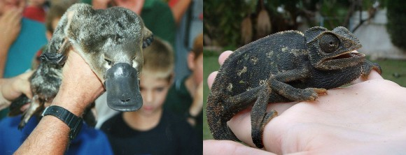 Platypus (L), chameleon imitating a platypus (R)